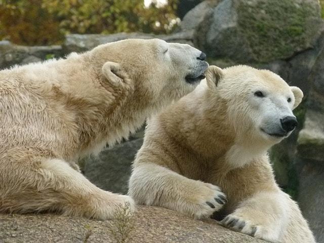 Polar Bears at Berlin Zoo